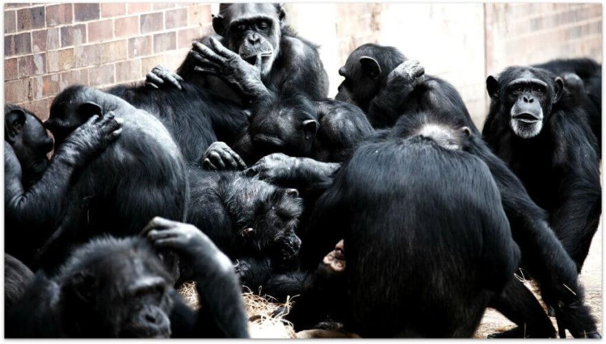 chimpance-1024x582