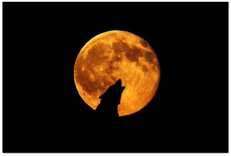 wolf-1024x690