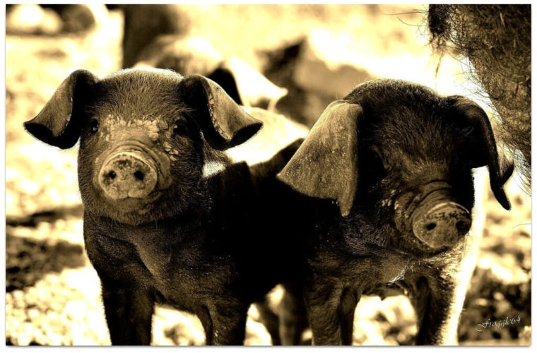 pigs-1024x674