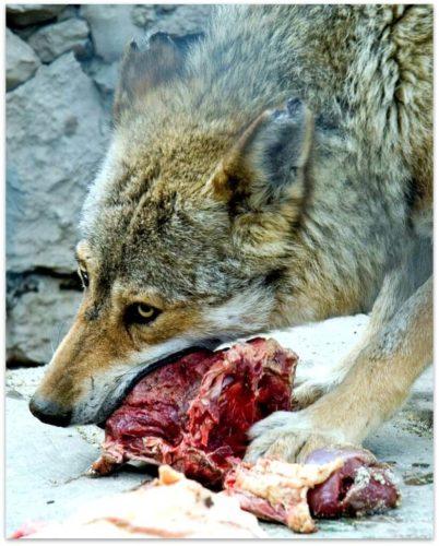 wolf-3-824x1024